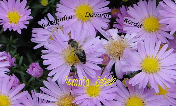 cebele-na-cvetu2