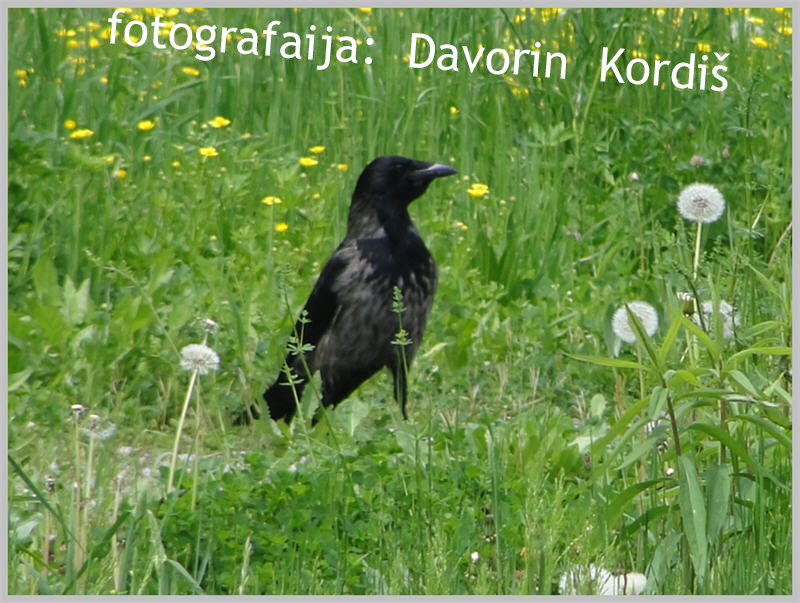 vrana2